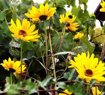FOTKA - ještě kvetou slunečnice..
