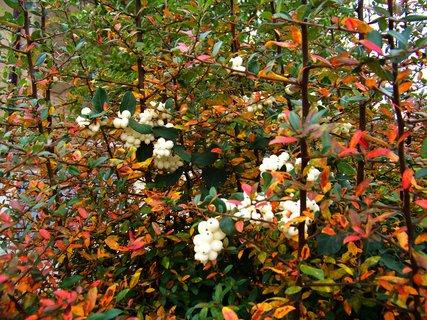 FOTKA - podzim barví keře