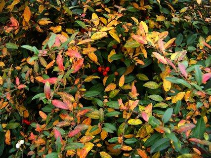 FOTKA - podzim barví keře...