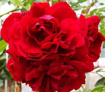 FOTKA - ještě kvetou růže