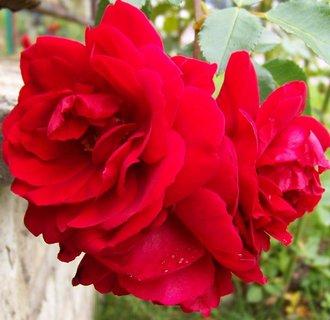 FOTKA - růže u plotu..