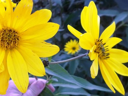 FOTKA - Žluté květy s mými prsty