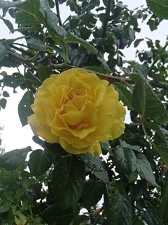 FOTKA - ružička po daždi.
