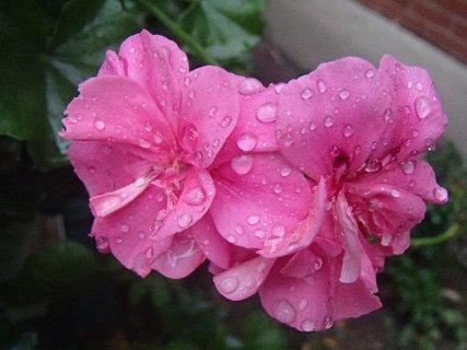 FOTKA - muškát po daždi......