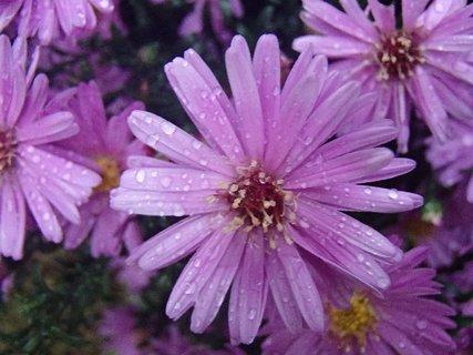 FOTKA - fialové kvietky s kvapkami