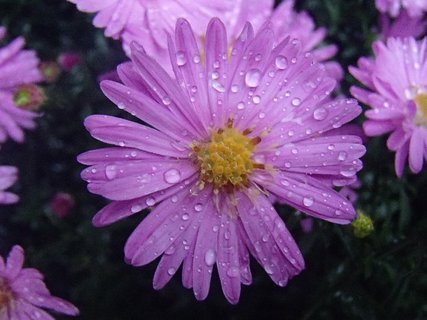 FOTKA - fialové kvietky s kvapkami.