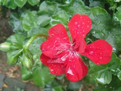 FOTKA - kvapky dažďa a muškát
