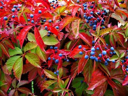 FOTKA - podzimem ozdobené ploty