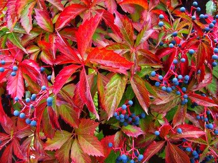 FOTKA - podzimem ozdobené ploty 2