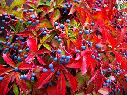 FOTKA - podzimem ozdobené ploty 3