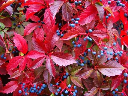 FOTKA - podzimem ozdobené ploty 4