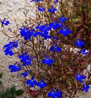 FOTKA - lobelky stále kvetou ..,,,