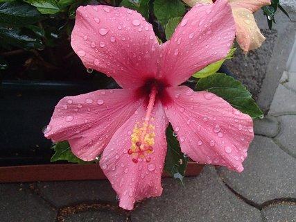FOTKA - kvapky dažďa na čínskej ruži.
