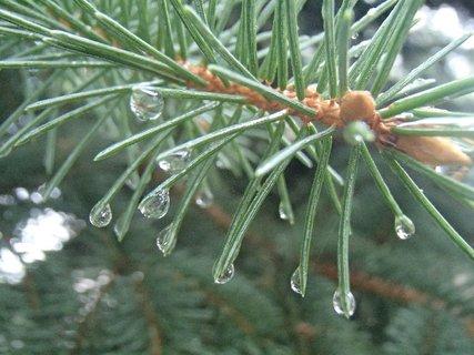 FOTKA - kvapky dažďa a ihličnan