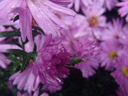 FOTKA - fialové kvietky s kvapkami...