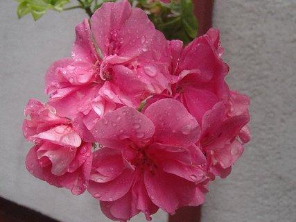 FOTKA - kvapky dažďa na muškáte