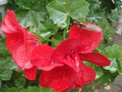 FOTKA - kvapky dažďa na muškáte.