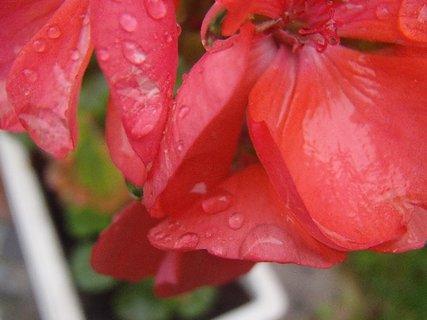 FOTKA - kvapky dažďa na muškáte..