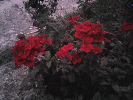 FOTKA - červené kytky v květináči
