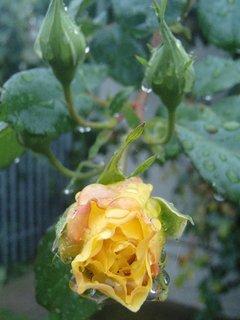 FOTKA - žltá ruža po daždi