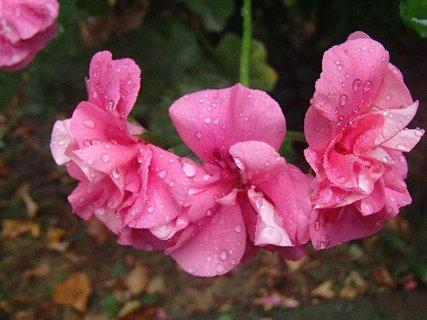 FOTKA - muškát po daždi.........