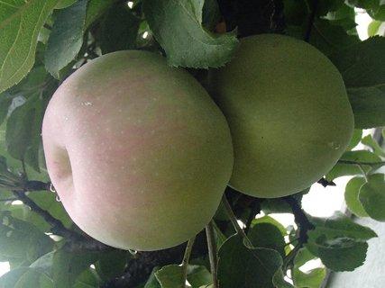 FOTKA - orosené jabĺčka