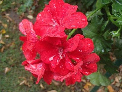 FOTKA - muškát po daždi..........