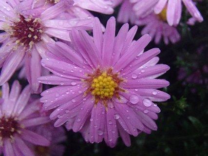 FOTKA - fialové kvietky s kvapkami....