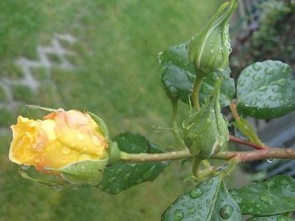 FOTKA - žltá ruža po daždi.