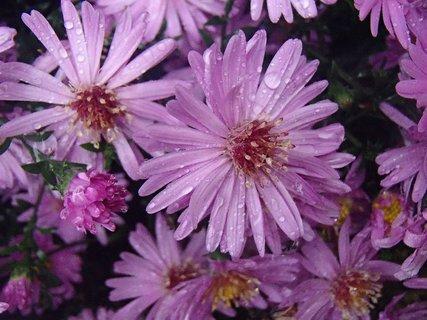 FOTKA - fialové kvietky s kvapkami.....