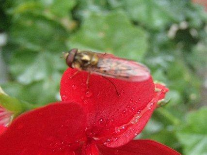 FOTKA - osička na orosenom muškáte