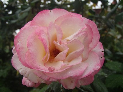 FOTKA - ružová ružička s kvapkou dažďa