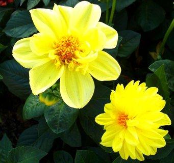 FOTKA - 3.10.2012, žluté jiřiny ...