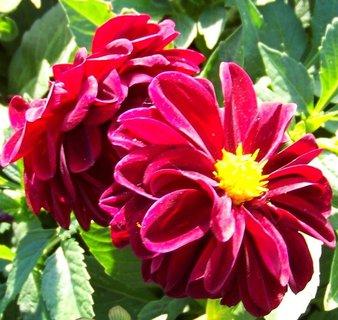 FOTKA - 3.10.2012, tmavě fialové květy jiřin..