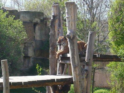 FOTKA - tygr odpočívá....