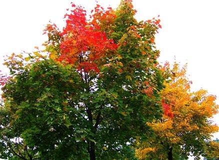 FOTKA - procházka 5.10.12, barvící se javory, škoda zatažené oblohy...