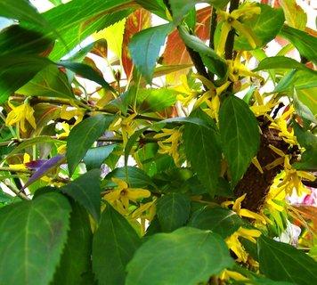 FOTKA - foceno dnes - 5.10.2012, zlatý déšť na naší zahradě..