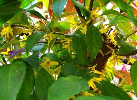 FOTKA - naše zahrada - téměř jarní květy zlatého deště dnes focené...