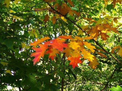 FOTKA - 6.10.2012, ranní procházka, listy dubu u lesa...