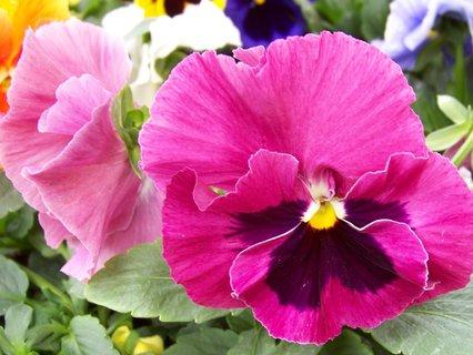 FOTKA - včerejší odpolední procházka, růžový květ macešky