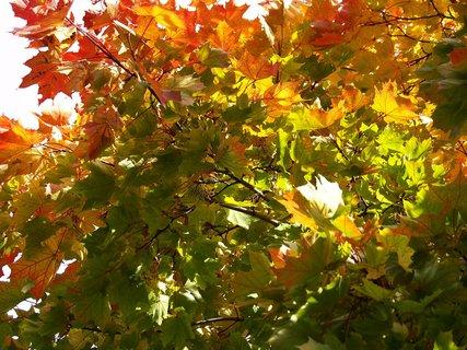 FOTKA - barevný javor v parku..