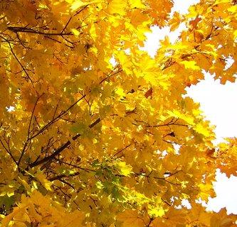 FOTKA - podzim v Kunraticích - javorové listy ...