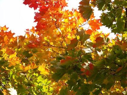 FOTKA - sobotní prosluněná procházka parčíkem, listí javoru...