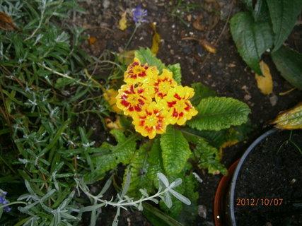 FOTKA - trošku popletl ,letos už kvete potřeti