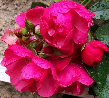 FOTKA - deštivá neděle, květy pnoucích růžiček
