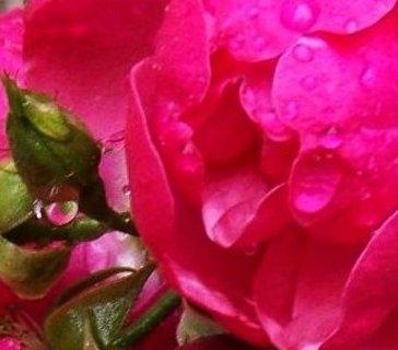 FOTKA - deštivá neděle, kapka na poupátku, pnoucí růže