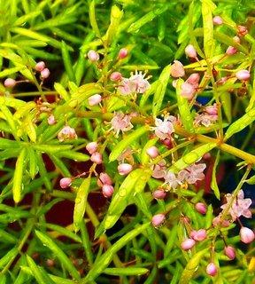 FOTKA - deštivá neděle, kvítka asparagusu .,,