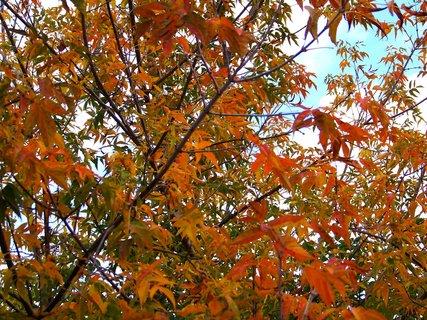 FOTKA - strom v barvách podzimu .,,,,..