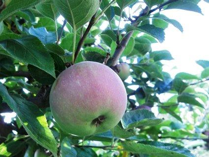 FOTKA - Jablíčko