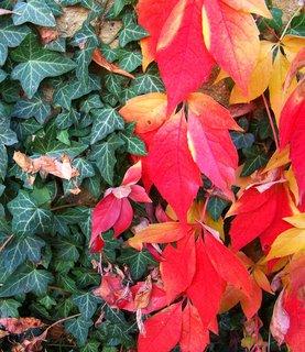 FOTKA - 11.10.2012, podzimní procházka, břečťan a barevné listy na zdi